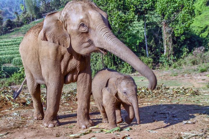 moeder olifant met kalf